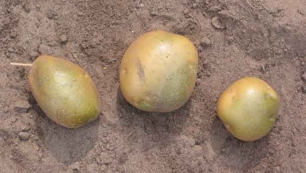 Uważaj na ziemniaki z zielonymi plamami. To trująca solanina!
