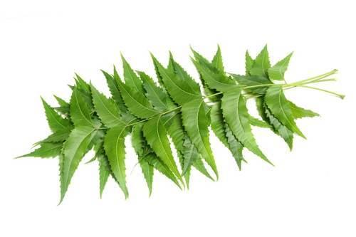 5 niesamowitych korzyści z liści Neem: starożytne lekarstwo na piękno i zdrowie