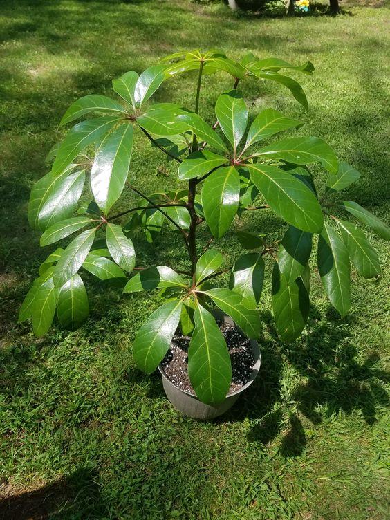 Nie wyrzucaj liści awokado. To cenna roślina wspomagające zdrowie
