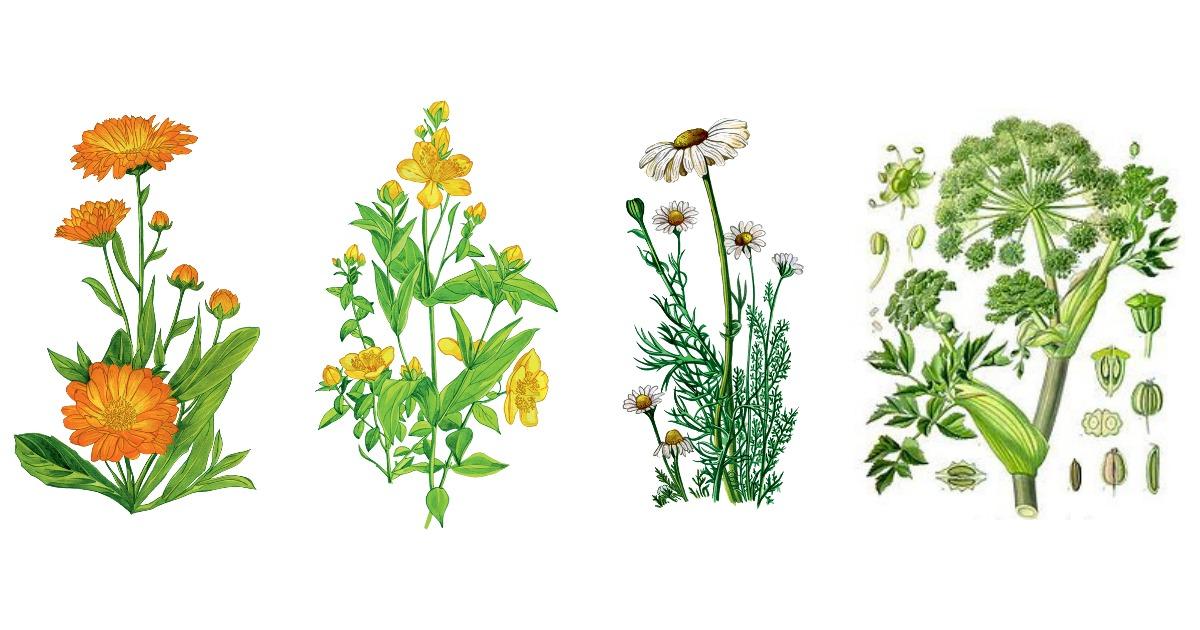 niebezpieczne zioła