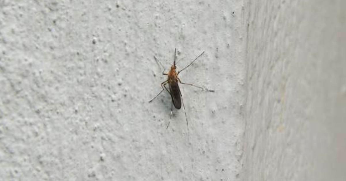komar tygrysi