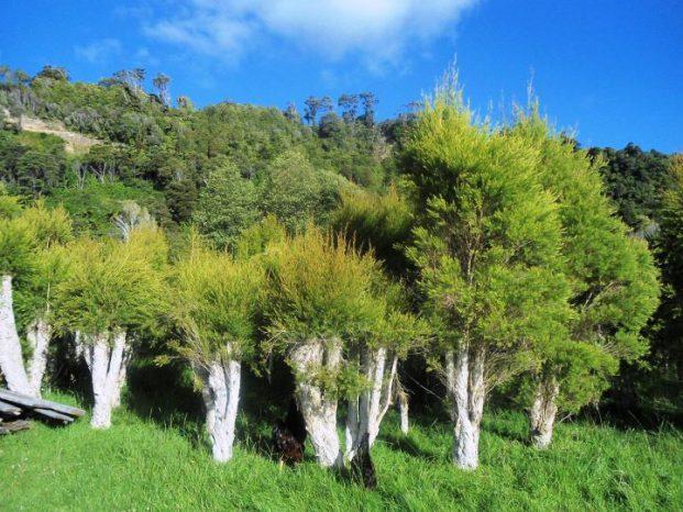 drzewo herbaciane