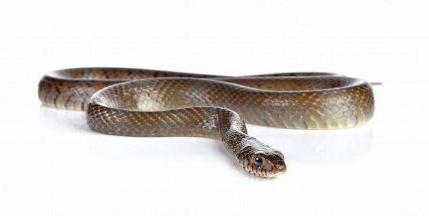Dieta wężowa