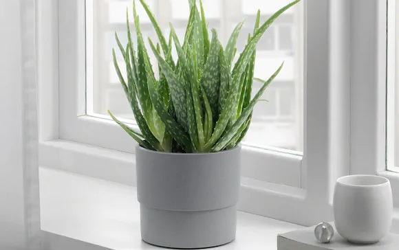 Ta roślina to istna bomba tlenowa, która jednocześnie usuwa toksyny. Masz ją w swoim domu?
